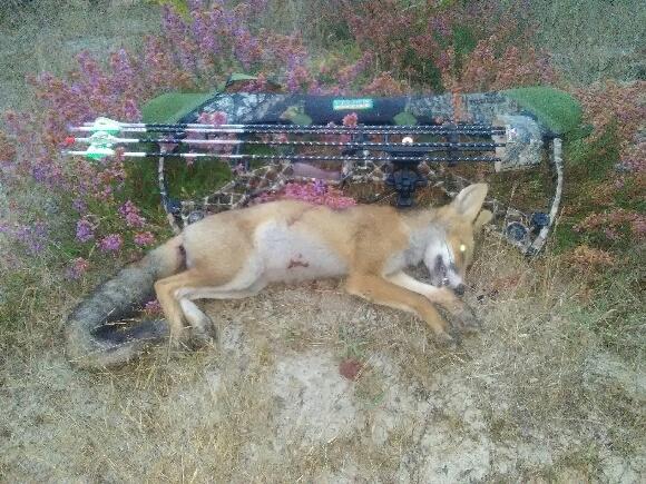 Très beau renard de Patxi. Tir 12 m, fuite 0 m.